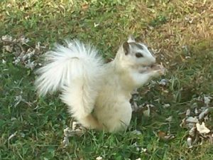 Rare white squirrel in Brevard, North Carolina